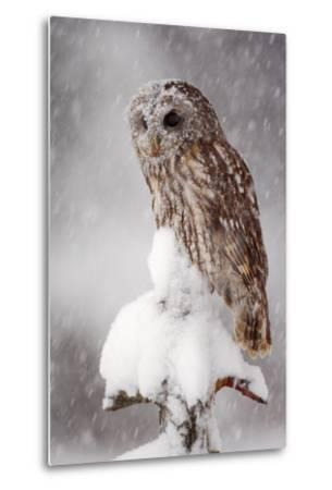 Winter Wildlife Scene with Owl. Tawny Owl Snow Covered in Snowfall during Winter. Action Snowfall S-Ondrej Prosicky-Metal Print