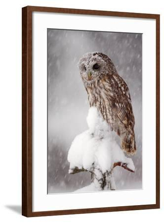 Winter Wildlife Scene with Owl. Tawny Owl Snow Covered in Snowfall during Winter. Action Snowfall S-Ondrej Prosicky-Framed Photographic Print