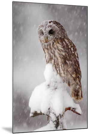 Winter Wildlife Scene with Owl. Tawny Owl Snow Covered in Snowfall during Winter. Action Snowfall S-Ondrej Prosicky-Mounted Photographic Print