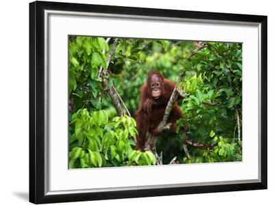 A Baby Orangutan in the Wild. Indonesia. the Island of Kalimantan (Borneo). an Excellent Illustrati-GUDKOV ANDREY-Framed Photographic Print