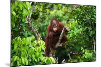 A Baby Orangutan in the Wild. Indonesia. the Island of Kalimantan (Borneo). an Excellent Illustrati-GUDKOV ANDREY-Mounted Photographic Print