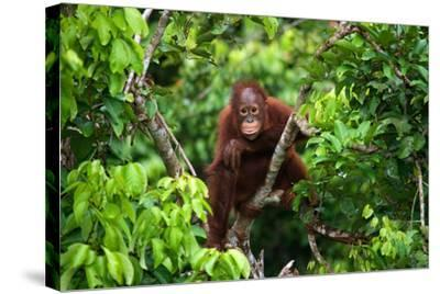 A Baby Orangutan in the Wild. Indonesia. the Island of Kalimantan (Borneo). an Excellent Illustrati-GUDKOV ANDREY-Stretched Canvas Print