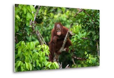 A Baby Orangutan in the Wild. Indonesia. the Island of Kalimantan (Borneo). an Excellent Illustrati-GUDKOV ANDREY-Metal Print