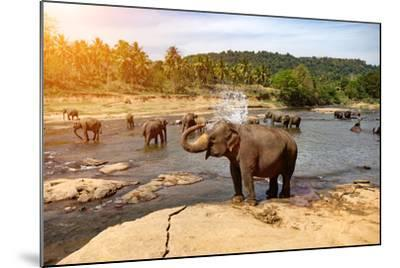 Elephants Bathing in the River. National Park. Pinnawala Elephant Orphanage. Sri Lanka.-Travel landscapes-Mounted Photographic Print