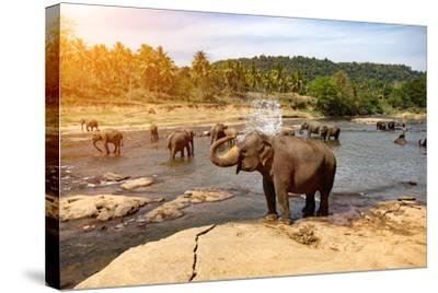Elephants Bathing in the River. National Park. Pinnawala Elephant Orphanage. Sri Lanka.-Travel landscapes-Stretched Canvas Print