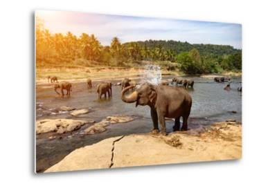 Elephants Bathing in the River. National Park. Pinnawala Elephant Orphanage. Sri Lanka.-Travel landscapes-Metal Print