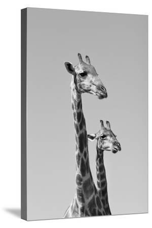 Giraffe - African Wildlife Background - Pair of Necks and Heads-Stacey Ann Alberts-Stretched Canvas Print