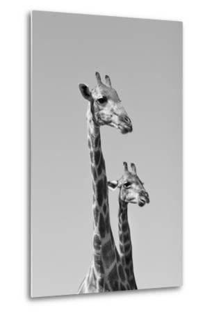 Giraffe - African Wildlife Background - Pair of Necks and Heads-Stacey Ann Alberts-Metal Print