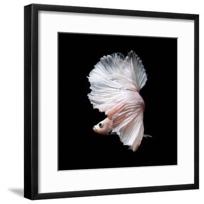 Betta Fish,Siamese Fighting Fish in Movement Isolated on Black Background-Nuamfolio-Framed Photographic Print