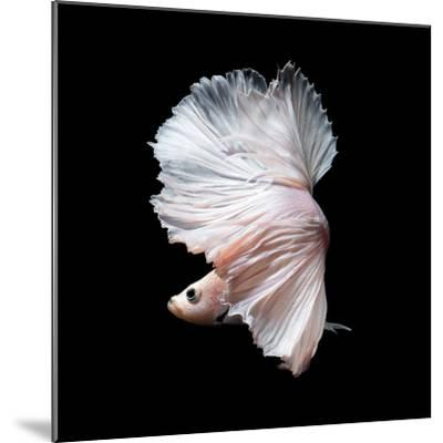 Betta Fish,Siamese Fighting Fish in Movement Isolated on Black Background-Nuamfolio-Mounted Photographic Print