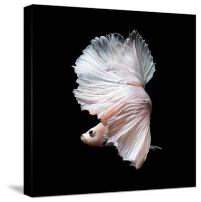 Betta Fish,Siamese Fighting Fish in Movement Isolated on Black Background-Nuamfolio-Stretched Canvas Print