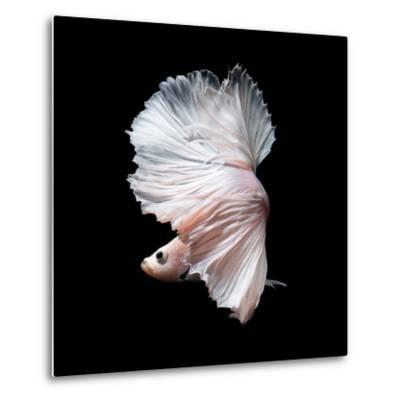 Betta Fish,Siamese Fighting Fish in Movement Isolated on Black Background-Nuamfolio-Metal Print