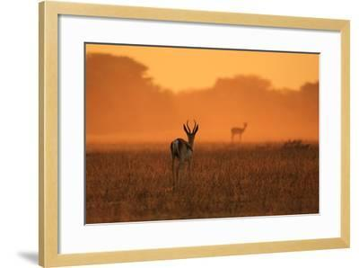 Springbok Antelope - African Wildlife Background - Sunset Gold and Colors in Nature-Stacey Ann Alberts-Framed Photographic Print