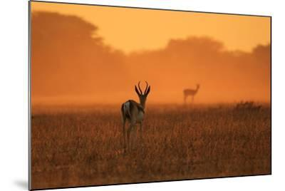 Springbok Antelope - African Wildlife Background - Sunset Gold and Colors in Nature-Stacey Ann Alberts-Mounted Photographic Print