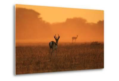 Springbok Antelope - African Wildlife Background - Sunset Gold and Colors in Nature-Stacey Ann Alberts-Metal Print
