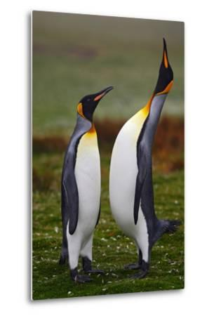 Pair of Penguins. Small and Big Bird. Male and Female of Penguin. King Penguin Couple Cuddling in W-Ondrej Prosicky-Metal Print