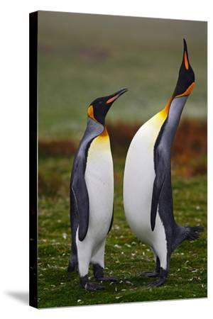 Pair of Penguins. Small and Big Bird. Male and Female of Penguin. King Penguin Couple Cuddling in W-Ondrej Prosicky-Stretched Canvas Print