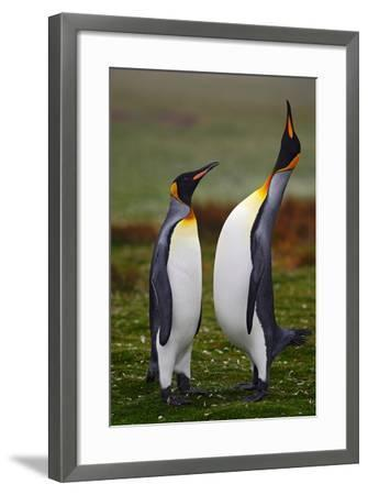 Pair of Penguins. Small and Big Bird. Male and Female of Penguin. King Penguin Couple Cuddling in W-Ondrej Prosicky-Framed Photographic Print