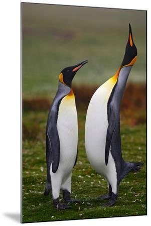 Pair of Penguins. Small and Big Bird. Male and Female of Penguin. King Penguin Couple Cuddling in W-Ondrej Prosicky-Mounted Photographic Print