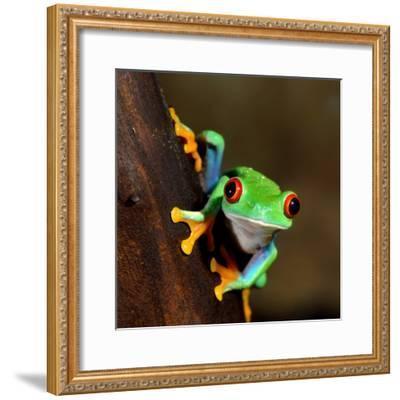 Red-Eye Frog Agalychnis Callidryas in Terrarium-Aleksey Stemmer-Framed Photographic Print