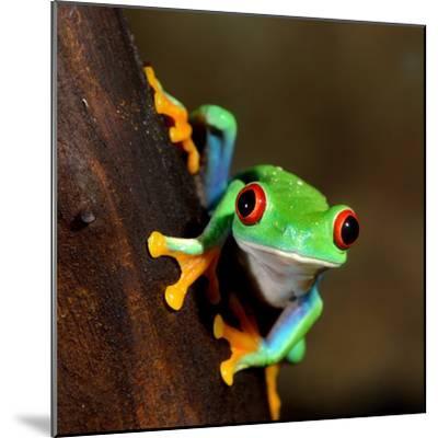 Red-Eye Frog Agalychnis Callidryas in Terrarium-Aleksey Stemmer-Mounted Photographic Print
