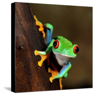 Red-Eye Frog Agalychnis Callidryas in Terrarium-Aleksey Stemmer-Stretched Canvas Print