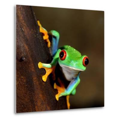 Red-Eye Frog Agalychnis Callidryas in Terrarium-Aleksey Stemmer-Metal Print