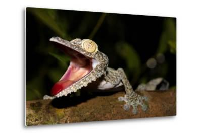 Giant Leaf-Tailed Gecko, Uroplatus Fimbriatus, Nosy Mangabe Reserve, Madagascar. Angry Gecko with O-Artush-Metal Print