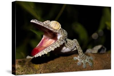 Giant Leaf-Tailed Gecko, Uroplatus Fimbriatus, Nosy Mangabe Reserve, Madagascar. Angry Gecko with O-Artush-Stretched Canvas Print