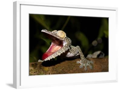 Giant Leaf-Tailed Gecko, Uroplatus Fimbriatus, Nosy Mangabe Reserve, Madagascar. Angry Gecko with O-Artush-Framed Photographic Print