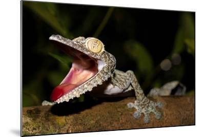 Giant Leaf-Tailed Gecko, Uroplatus Fimbriatus, Nosy Mangabe Reserve, Madagascar. Angry Gecko with O-Artush-Mounted Photographic Print
