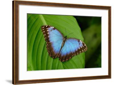 Big Butterfly Blue Morpho, Morpho Peleides, Sitting on Green Leaves, Costa Rica-Ondrej Prosicky-Framed Photographic Print