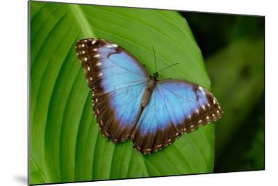 Big Butterfly Blue Morpho, Morpho Peleides, Sitting on Green Leaves, Costa Rica-Ondrej Prosicky-Mounted Photographic Print