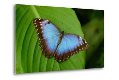 Big Butterfly Blue Morpho, Morpho Peleides, Sitting on Green Leaves, Costa Rica-Ondrej Prosicky-Metal Print