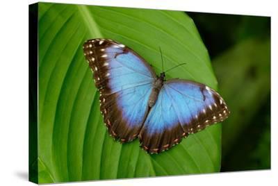 Big Butterfly Blue Morpho, Morpho Peleides, Sitting on Green Leaves, Costa Rica-Ondrej Prosicky-Stretched Canvas Print