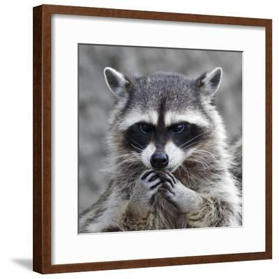 The Head and Hands of a Cute and Cuddly Raccoon, that Can Be Very Dangerous Beast. Side Face Portra- andamanec-Framed Photographic Print