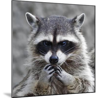 The Head and Hands of a Cute and Cuddly Raccoon, that Can Be Very Dangerous Beast. Side Face Portra- andamanec-Mounted Photographic Print