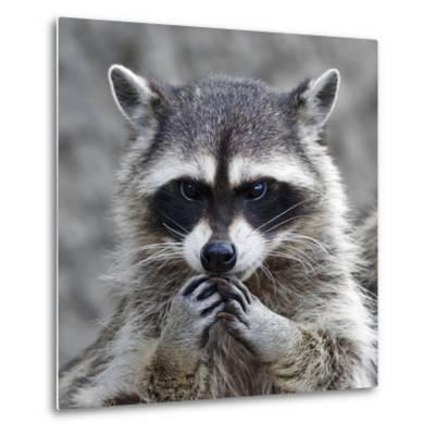 The Head and Hands of a Cute and Cuddly Raccoon, that Can Be Very Dangerous Beast. Side Face Portra- andamanec-Metal Print