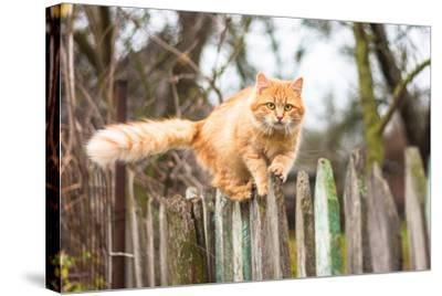 Fluffy Ginger Tabby Cat Walking on Old Wooden Fence-lkoimages-Stretched Canvas Print