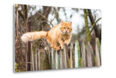 Fluffy Ginger Tabby Cat Walking on Old Wooden Fence-lkoimages-Metal Print