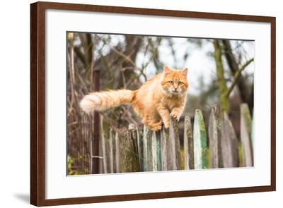 Fluffy Ginger Tabby Cat Walking on Old Wooden Fence-lkoimages-Framed Photographic Print