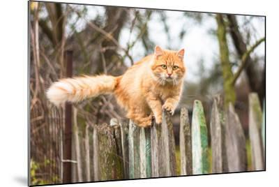 Fluffy Ginger Tabby Cat Walking on Old Wooden Fence-lkoimages-Mounted Photographic Print