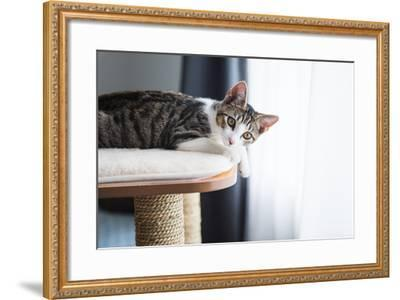 Cute Tabby Kitten Relaxing on Top of Cat Tree-Anna Hoychuk-Framed Photographic Print
