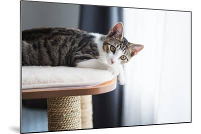 Cute Tabby Kitten Relaxing on Top of Cat Tree-Anna Hoychuk-Mounted Photographic Print