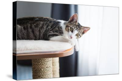 Cute Tabby Kitten Relaxing on Top of Cat Tree-Anna Hoychuk-Stretched Canvas Print