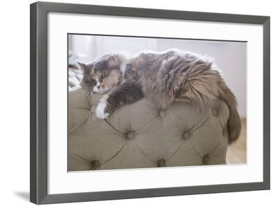 Cat Sleeping on the Couch- Gipsy-Framed Photographic Print