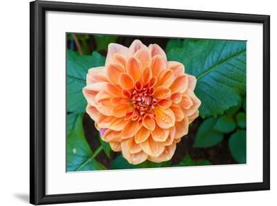 Beautiful Dahlia Flower and Water Drop in Garden- luckypic-Framed Photographic Print