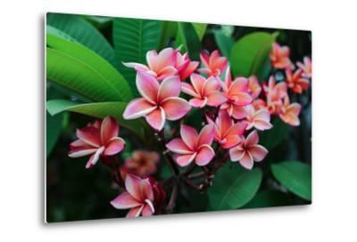 Plumeria Spp. Frangipani Flowers, Frangipani- KiattisakCh-Metal Print