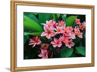 Plumeria Spp. Frangipani Flowers, Frangipani- KiattisakCh-Framed Photographic Print