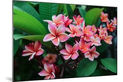 Plumeria Spp. Frangipani Flowers, Frangipani- KiattisakCh-Mounted Photographic Print